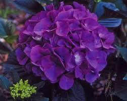 purple hydrangea masja purple blue hydrangea