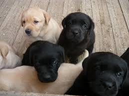 Zu Kaufen Labrador Retriever Welpen Zu Verkaufen Labrador