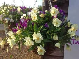 Winter Flowers For Garden by Hanging Basket Grower Green Pastures Norwich Norfolk
