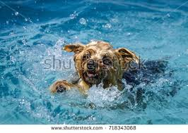 boxer dog yorkshire boxer dog swimming stock photo 424307308 shutterstock