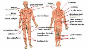 human anatomy anatomy parts muscular system posterior and