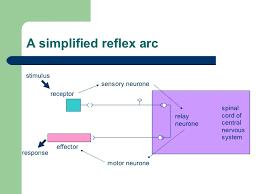 Motor Reflex Arc Spinal Reflexes