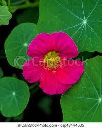 nasturtium flowers nasturtium nasturtium edible flower nasturtium flowers stock