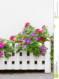 Vinca Flower Information - colorful vinca flowers royalty free stock photography image