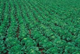 the best pesticide for cabbage worms home guides sf gate