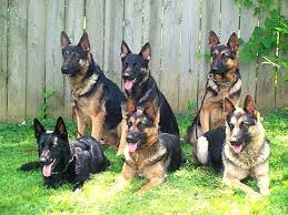 brochure for the best family raised personal protection dogs