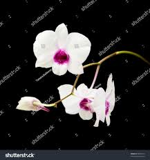 beautiful white dendrobium orchid dark purple stock photo 60020314