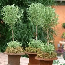 Rosemary Topiary Herb Topiary Care U2014 Cactus U0026 Tropicals