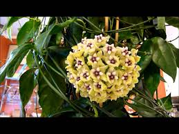 a visit with hoya coriacea youtube