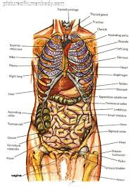 Human Organs Images Diagram Of Human Body Organs Picture Of Body Organs Medical