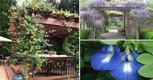 Morning Glory Climbing Plant - 15 best climbing plants for your pergola and arbor