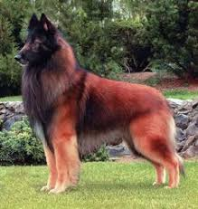 belgian shepherd breeds malinois dog breed the malinois ˈmælɨnwɑː is a medium to large