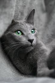 Blue Gray Best 25 Russian Blue Ideas On Pinterest Grey Cats Chartreux