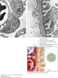the urinary system junqueira u0027s basic histology 14e
