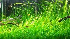 Aquascape Aquarium Plants Live Plants For Aquariums In Species Vallisneria Water Type Fresh