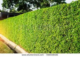 hedge stock images royalty free images vectors