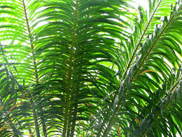 palm branches for palm sunday apprehendinggrace palm fronds are for celebrating