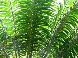 palm fronds for palm sunday apprehendinggrace palm fronds are for celebrating