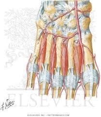 Foot Vascular Anatomy And Foot Deep Muscles And Arteries Of The Foot