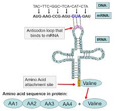 dna genetics and evolution