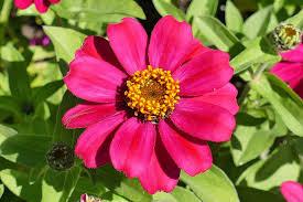 Zinnia Flower Free Photo Zinnia Flower Garden Red Blossom Free Image On