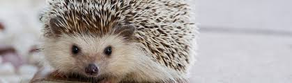 african pygmy hedgehog food and diet exotic pets resources
