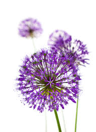 allium flowers beautiful allium flowers wallpaper wall mural wallsauce