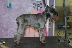mini schnauzer haircut styles paws at your door mobile grooming client gallery