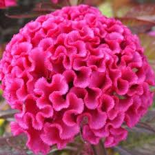 celosia flower hot pink cockscomb celosia seeds seeds