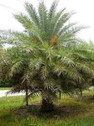 sylvester date palm tree sylvester date palm pictures sylvestris