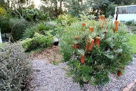 Rock Garden Cground Fascinating Australian Rock Garden Banksia Ground Cover