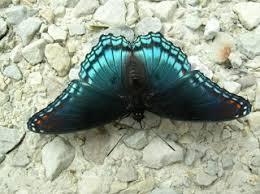divinebunbun s rugged rural missouri black blue butterfly