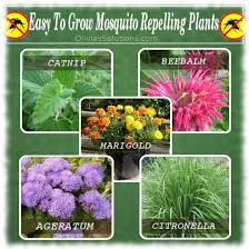 mosquito plants easy to grow mosquito repellent plants