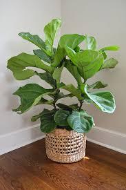 fiddle leaf fig treelemon grove lemon grove