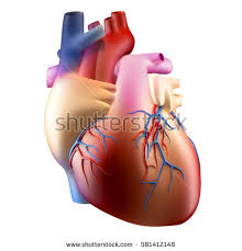 Photos Of Human Anatomy Human Heart Stock Images Royalty Free Images U0026 Vectors Shutterstock