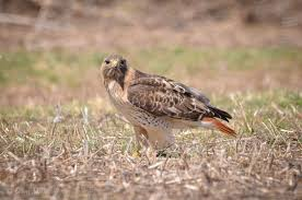 Rhode Island birds images Red tailed hawk rhode island bird hunter jpg