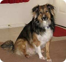 australian shepherd weiner dog mix nicco adopted dog apache junction az sheltie shetland
