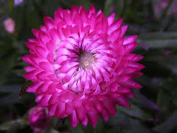 straw flowers strawflowers how to grow and care for strawflower plants