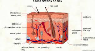 Human Anatomy Integumentary System The Integumentary System Human Anatomy