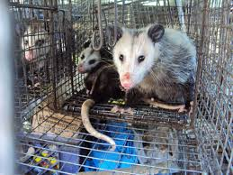 Possum In My Backyard Los Angeles Opossum Trapping U0026 Removal All City Animal Trapping