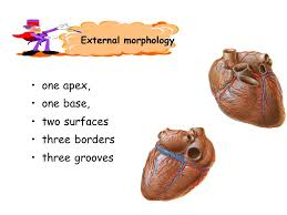 External Heart Anatomy Heart Anatomy Contents Cardiac Chambers Structure Of The Heart