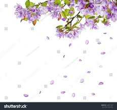 100 lilac flower branch isolated on white background stock
