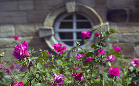 britain u0027s most fragrant rose gardens in the care of the national