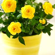 Yellow Flower - yellow color plants buy 6000 nursery plants n seeds