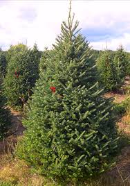 buy fraser fir trees tree express