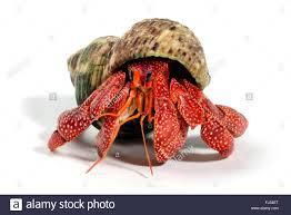 terrestrial land crab stock photos u0026 terrestrial land crab stock