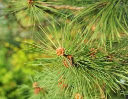pine needles inhabitat green design innovation architecture
