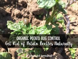 organic potato bug control how to get rid of potato beetles