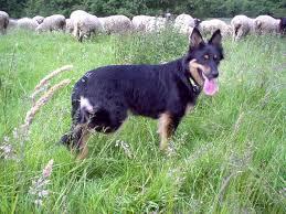 belgian shepherd herding old german herding dogs wikipedia