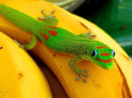 33 best geckos images on pinterest geckos lizards and amphibians